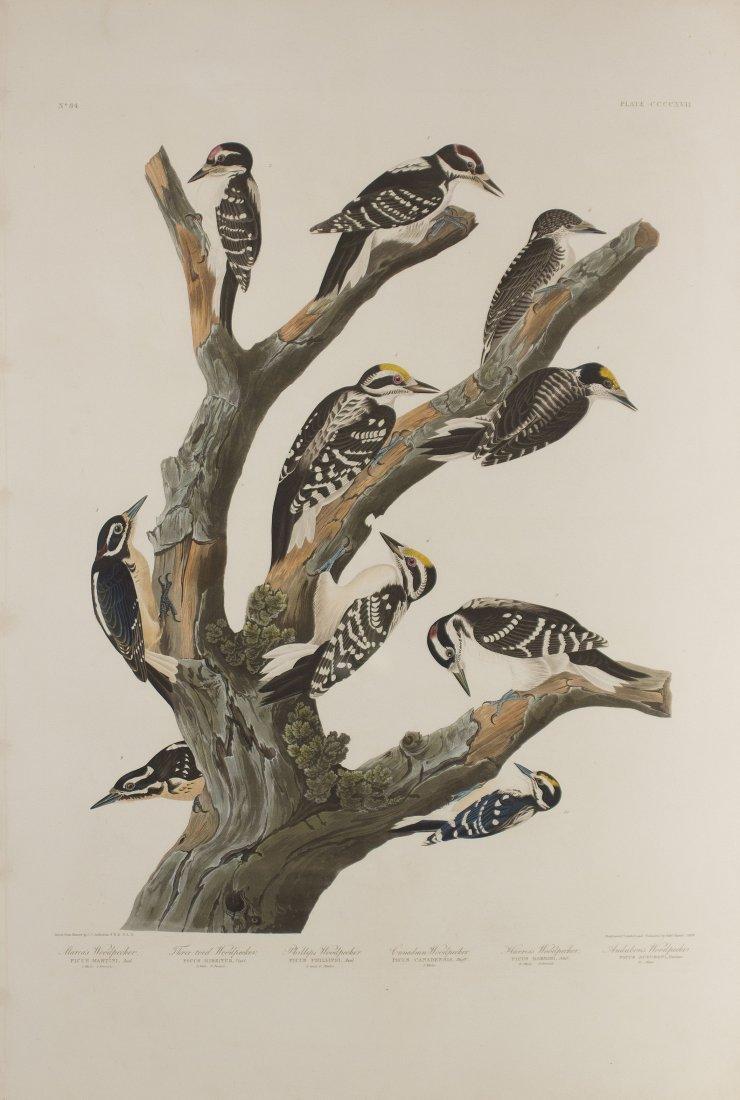 John James Audubon, Plate 417: