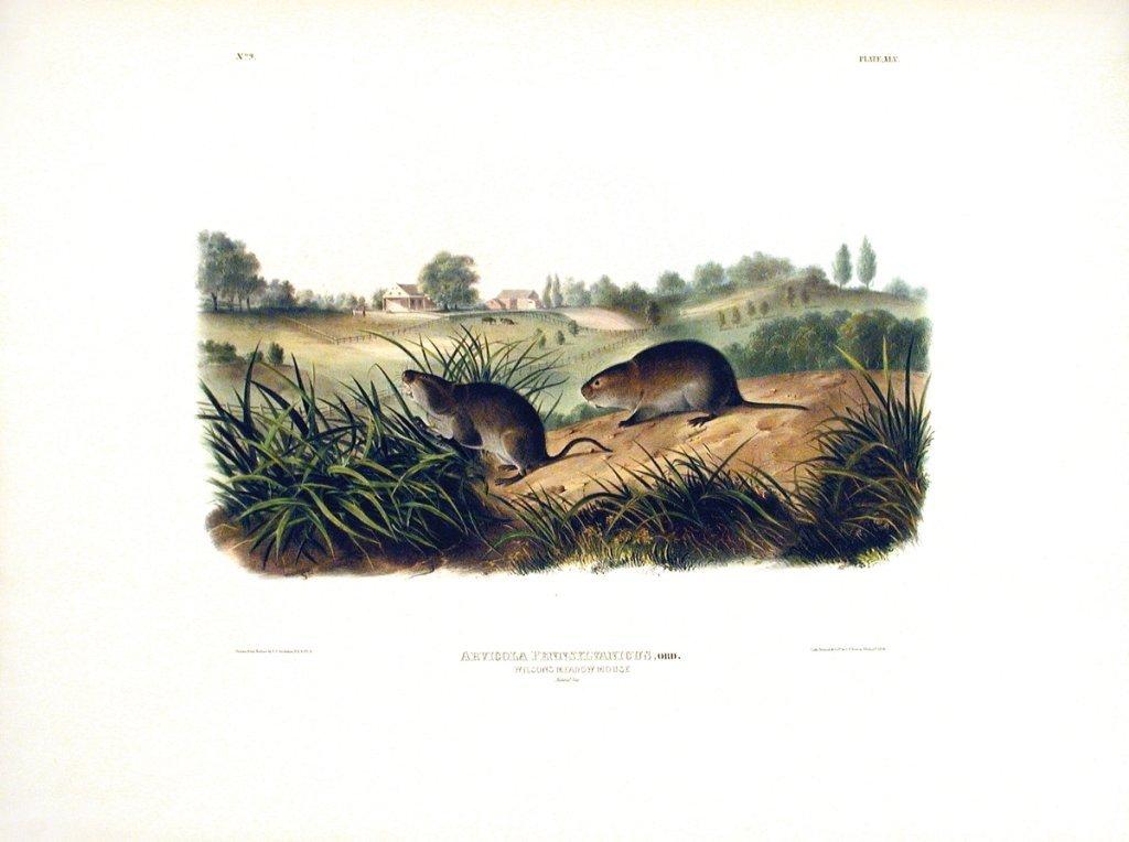 John James Audubon, Plate  45: