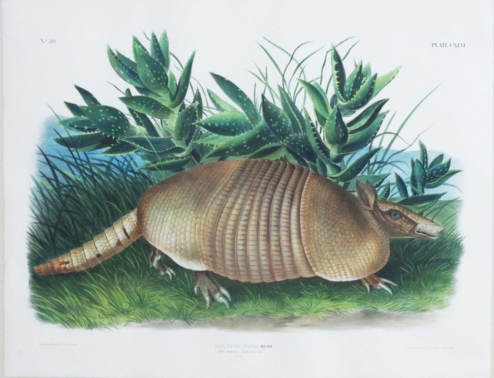 John James Audubon, Plate 146: