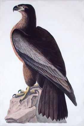 John James Audubon, Plate 11: