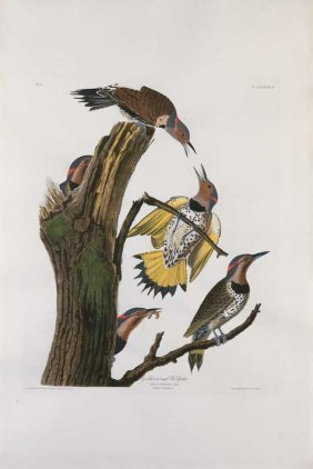 John James Audubon, Plate 37: