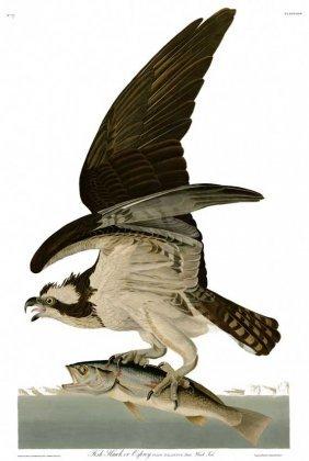 John James Audubon, Plate 81: