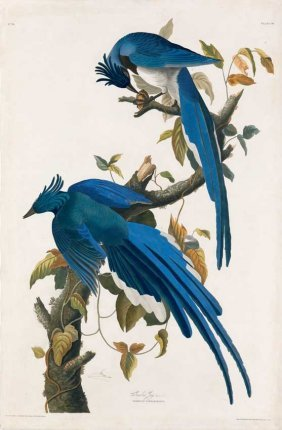 John James Audubon, Plate 96: