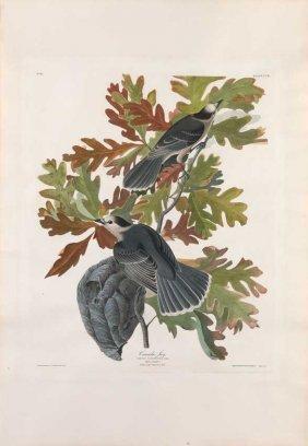 John James Audubon, Plate 107: