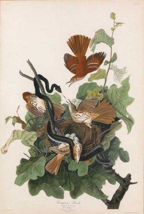John James Audubon, Plate 116: