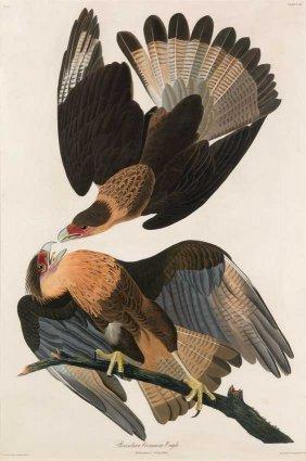 John James Audubon, Plate 161: