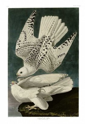 John James Audubon, Plate 366: