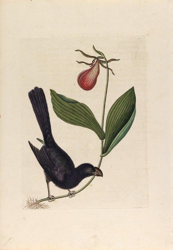 Mark Catesby, Razor-Billed Blackbird of Jamaica