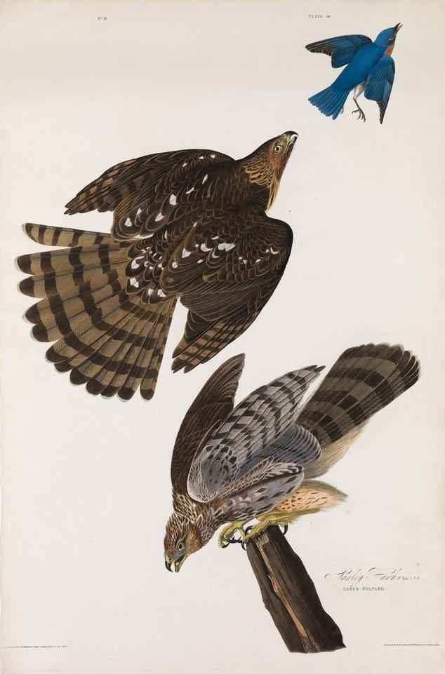 John James Audubon, Plate 36:
