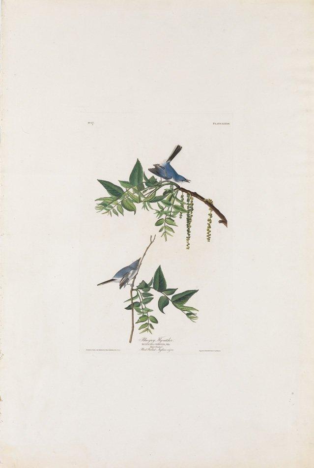 John James Audubon, Plate 84: