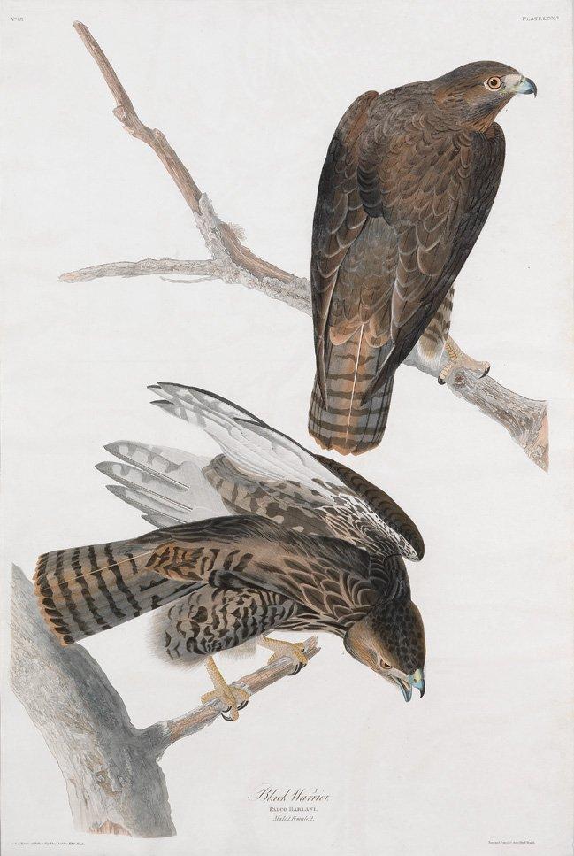 John James Audubon, Plate 86: