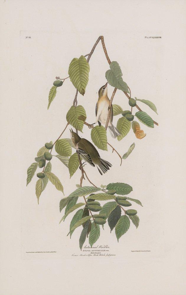John James Audubon, Plate 88: