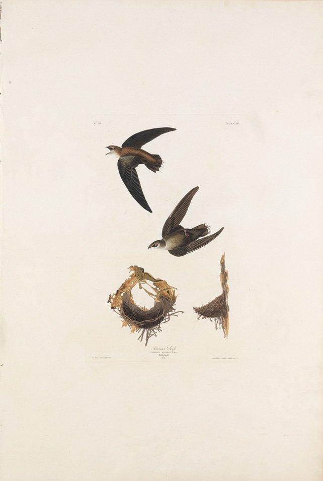 John James Audubon, Plate 158:
