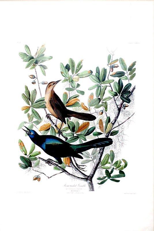 John James Audubon, Plate 187: