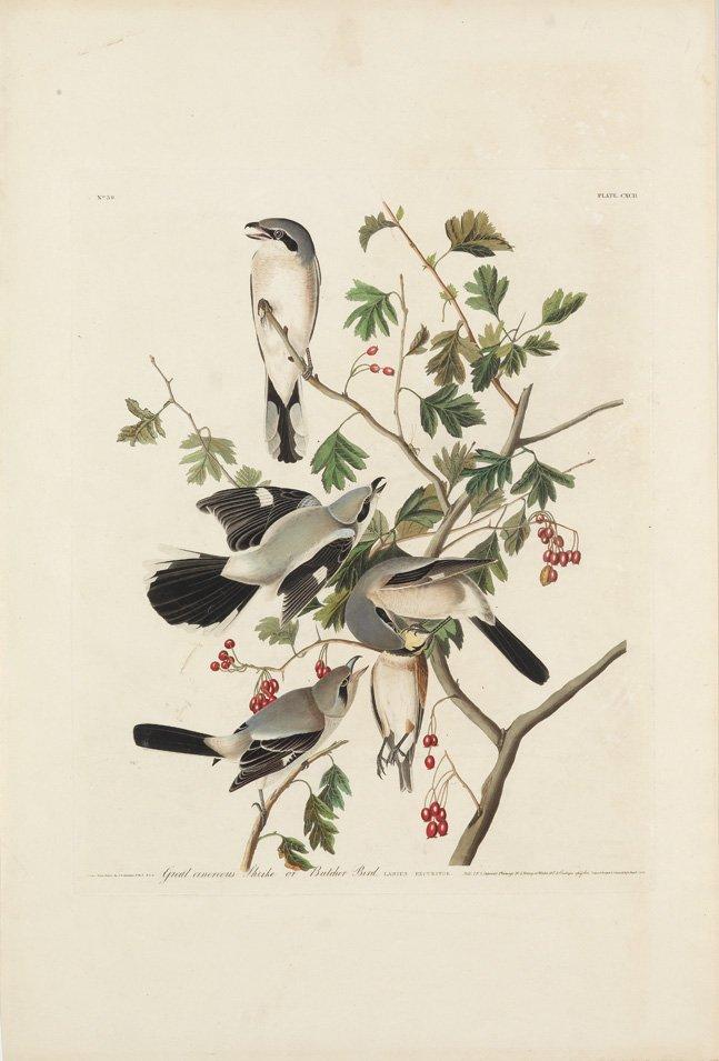 John James Audubon, Plate 192: