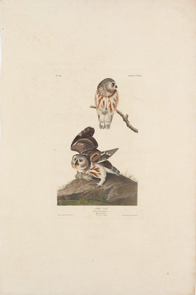 John James Audubon, Plate 199: