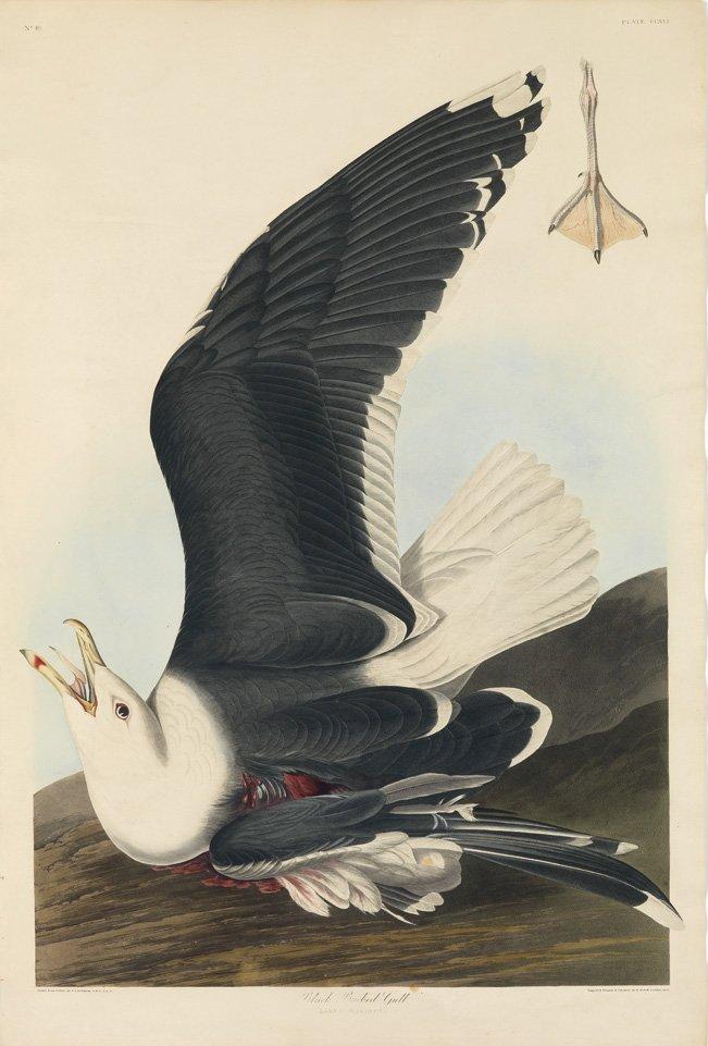 John James Audubon, Plate 241: