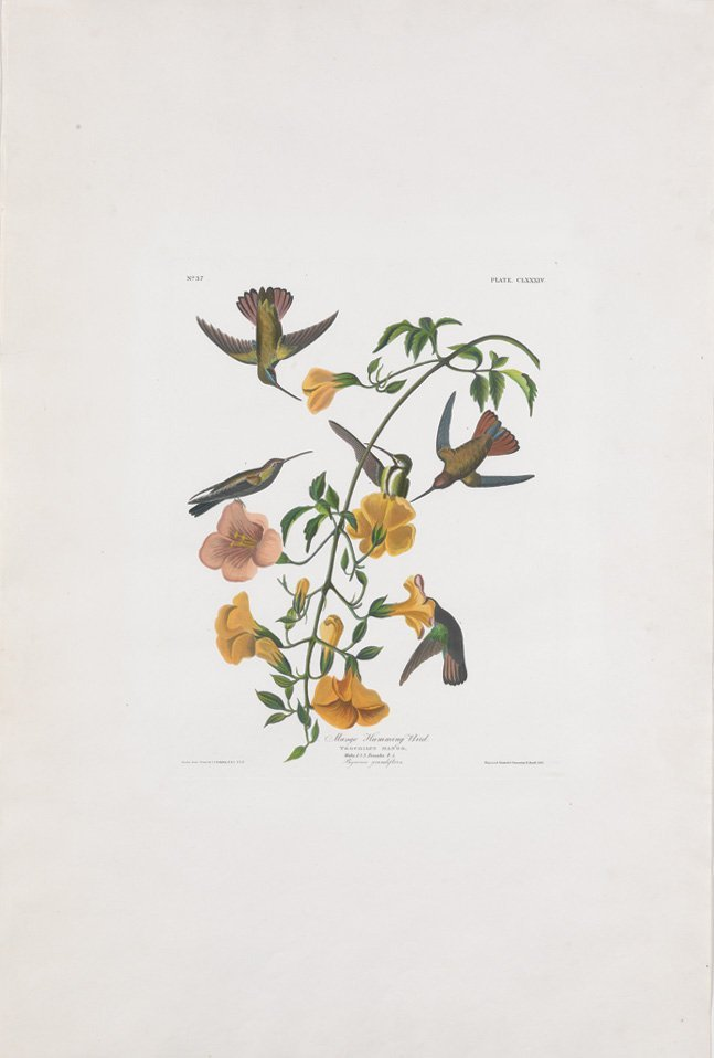 John James Audubon, Plate 184: