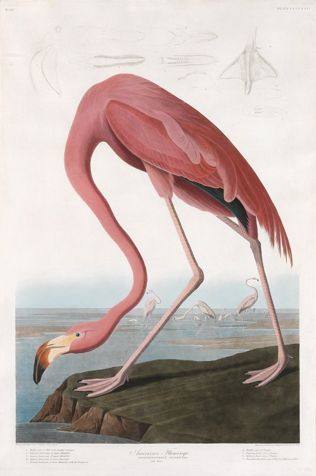 John James Audubon, Plate 431: