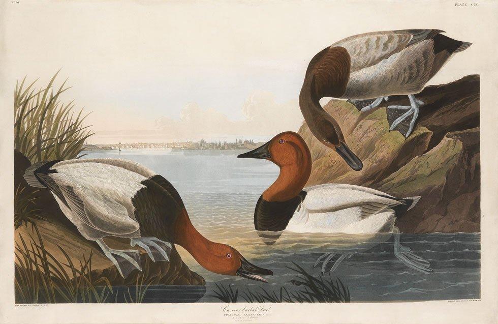 John James Audubon, Plate: 301