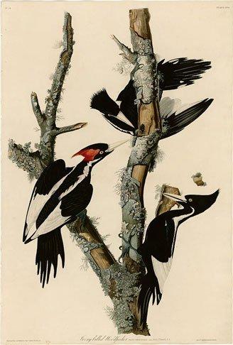 John James Audubon, Ivory-billed Woodpecker, Plate 66