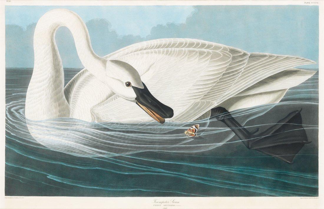 Trumpeter Swan, mature, Plate 406