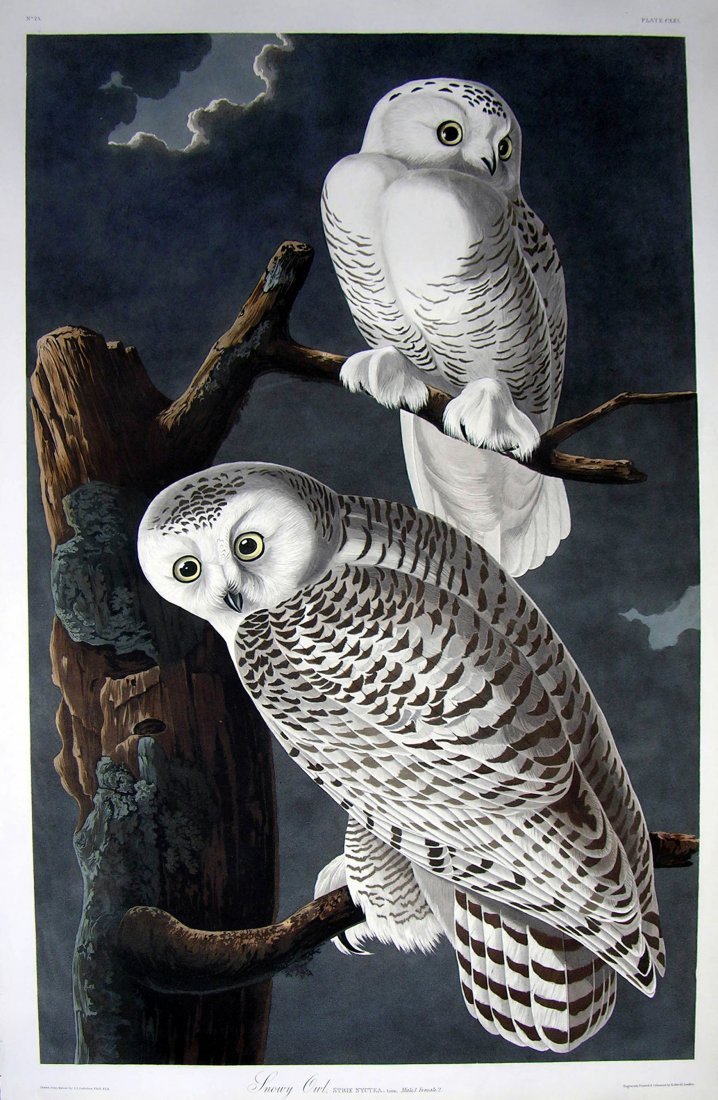 Snowy Owl, Plate 121