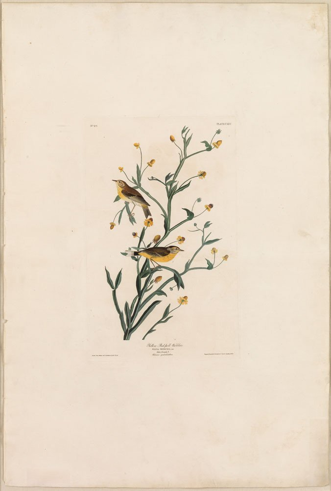 Yellow Red Poll Warbler, Plate 145