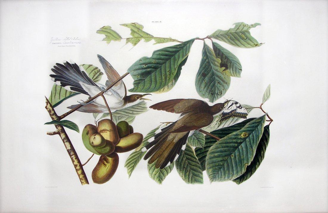 Yellow-Billed Cuckoo, Plate 2