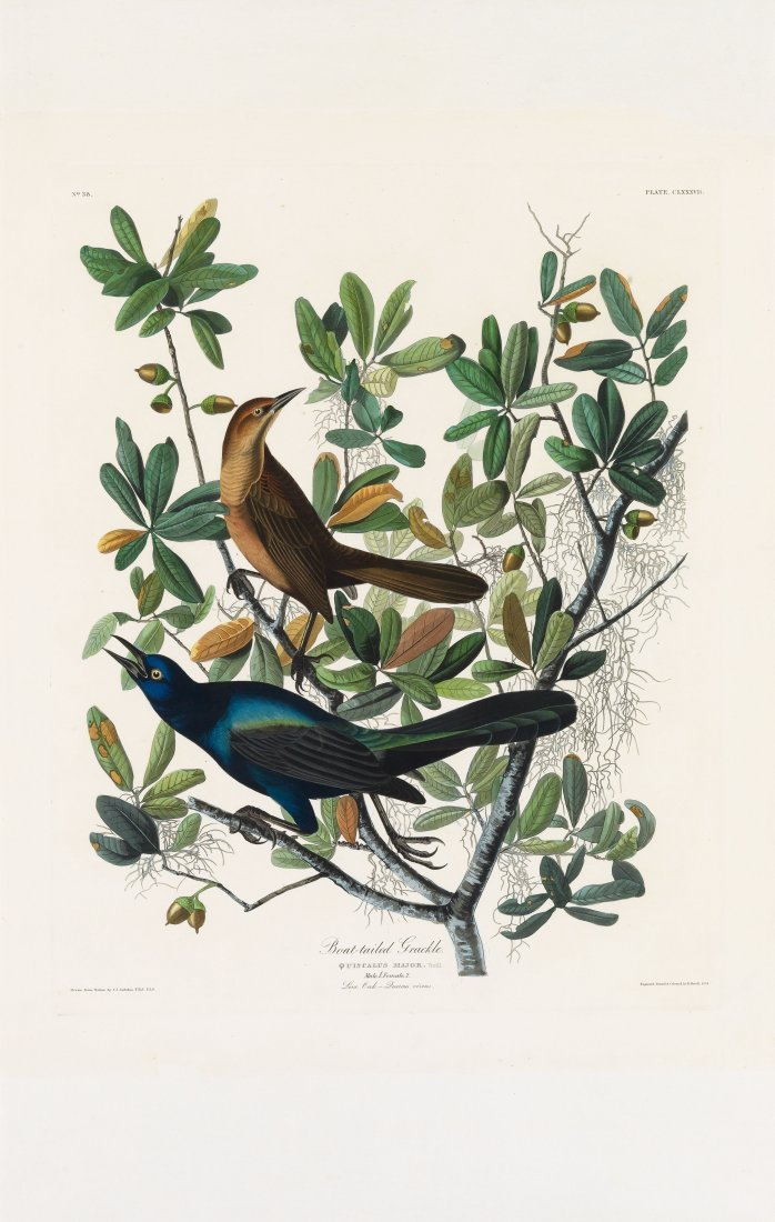 Boat-Tailed Grackle, Plate 187