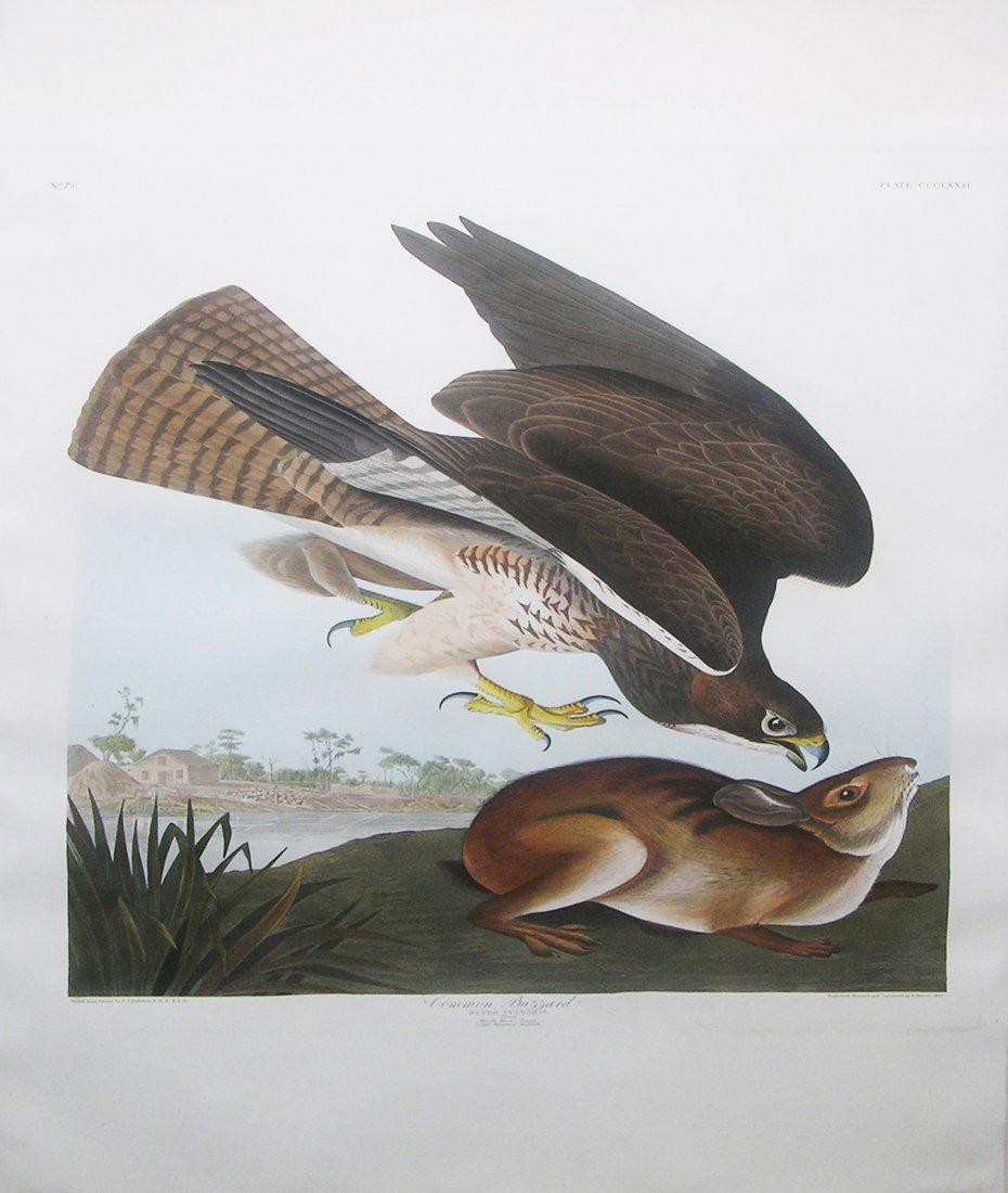 Common Buzzard, Plate 372