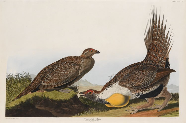 Cock of the Plains, Plate 371