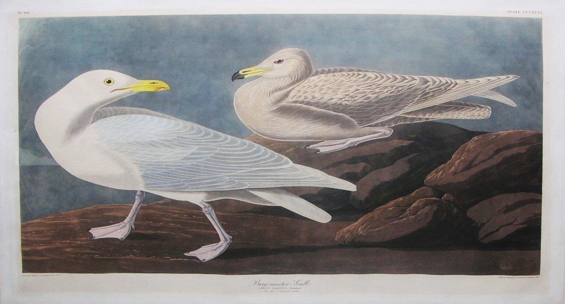 Burgomaster Gull, Plate 396