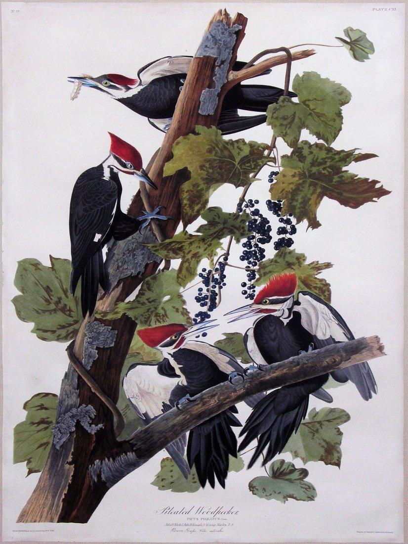 Pileated Woodpecker, Plate 111