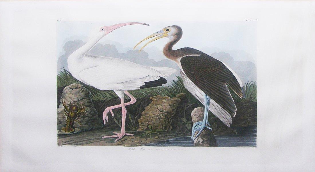 White Ibis, Plate 222