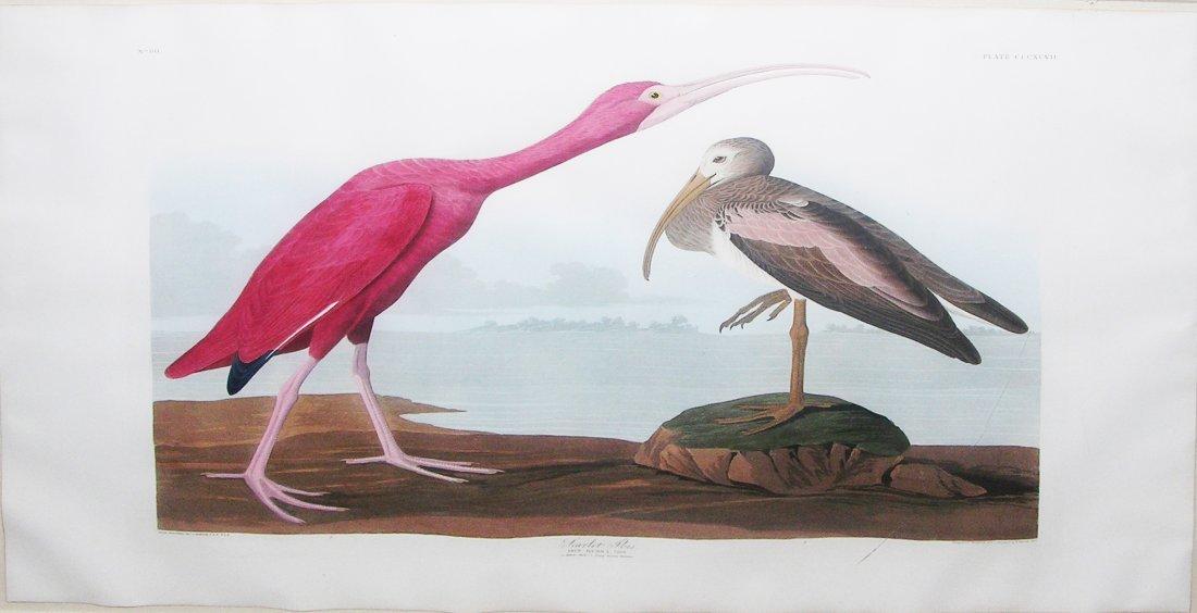 Scarlet Ibis, Plate 397