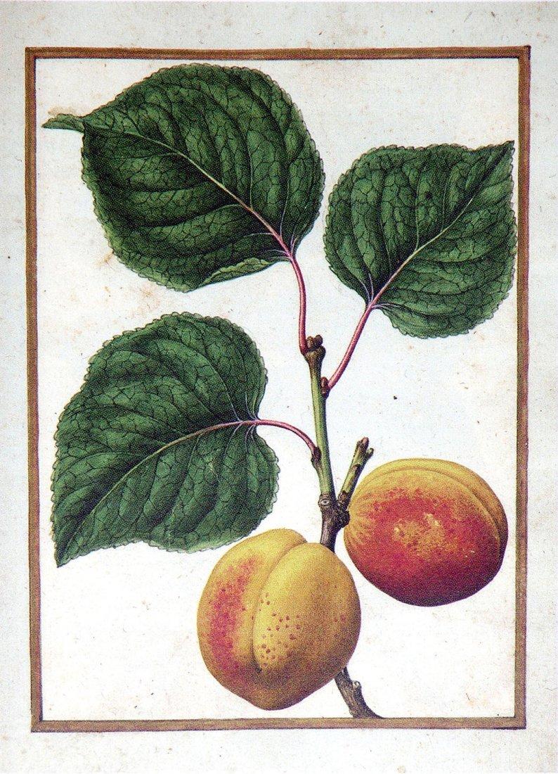 Peach, f. 66