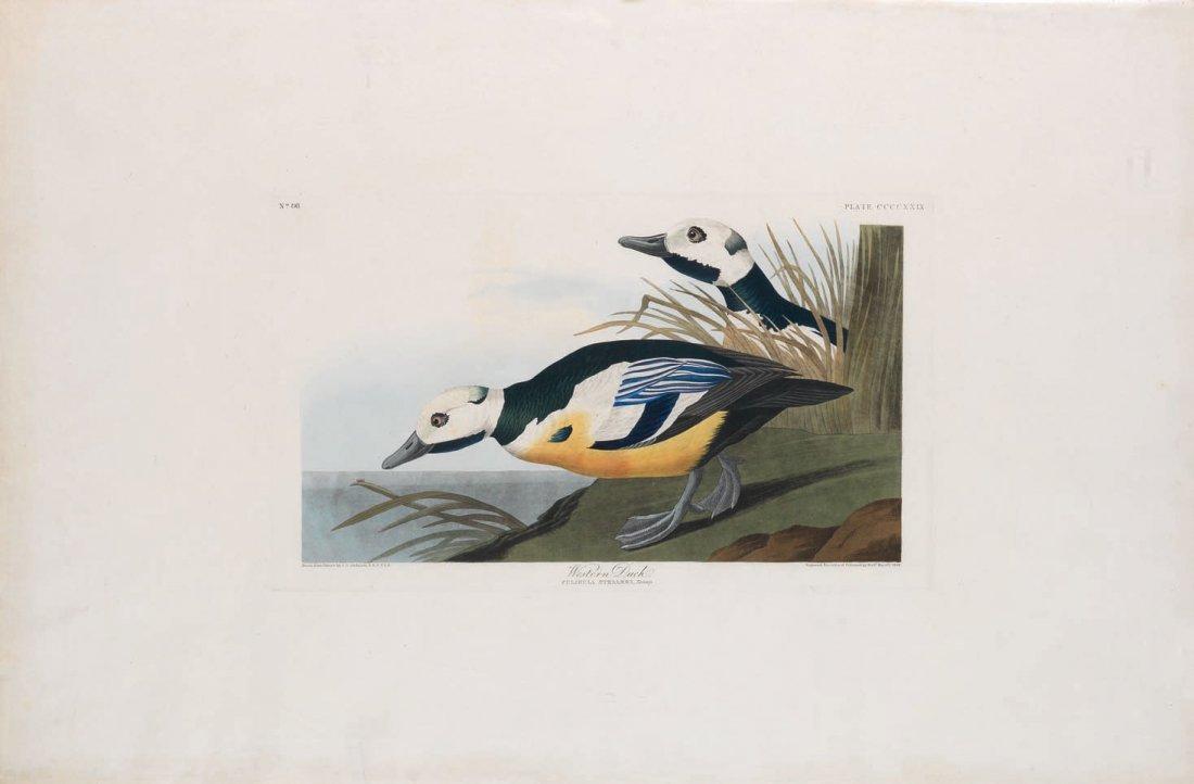 Western Duck, Plate 429