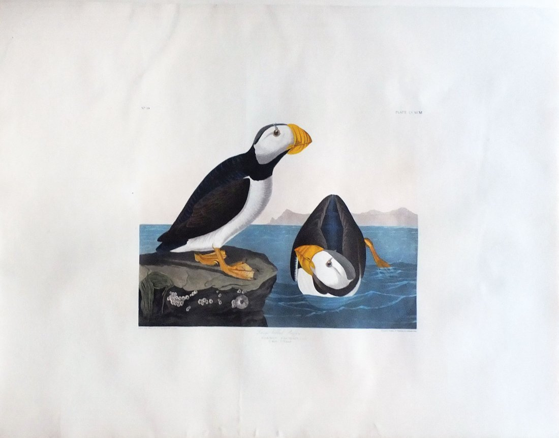 Puffin, Plate 213