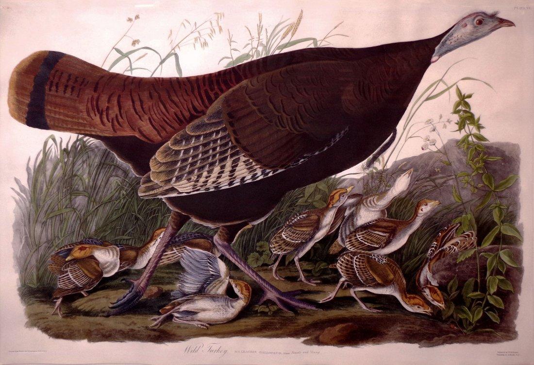 Wild Turkey (Female), Plate 6