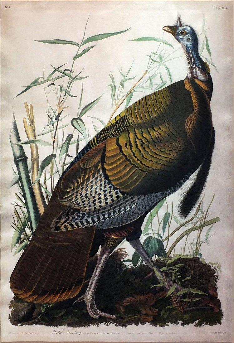 Wild Turkey (Male), Plate 1