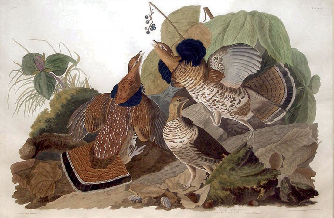 Ruffed Grouse, Plate 41