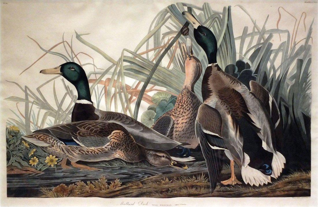 Mallard Duck, Plate 221