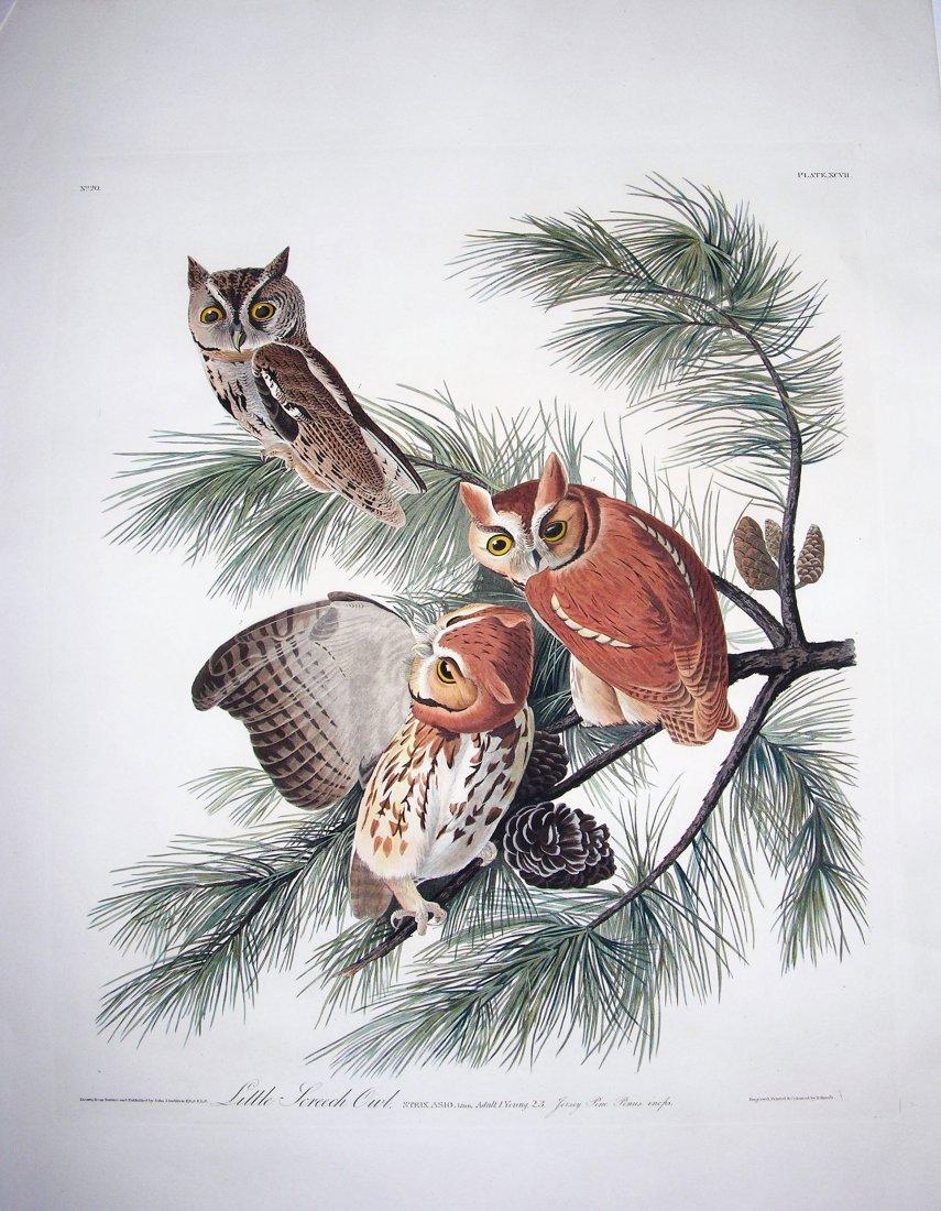 Little Screech Owl, Plate 97