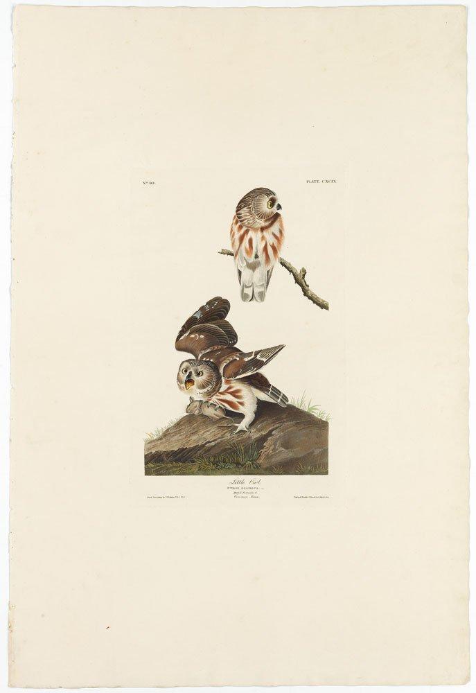 Little Owl, Plate 199