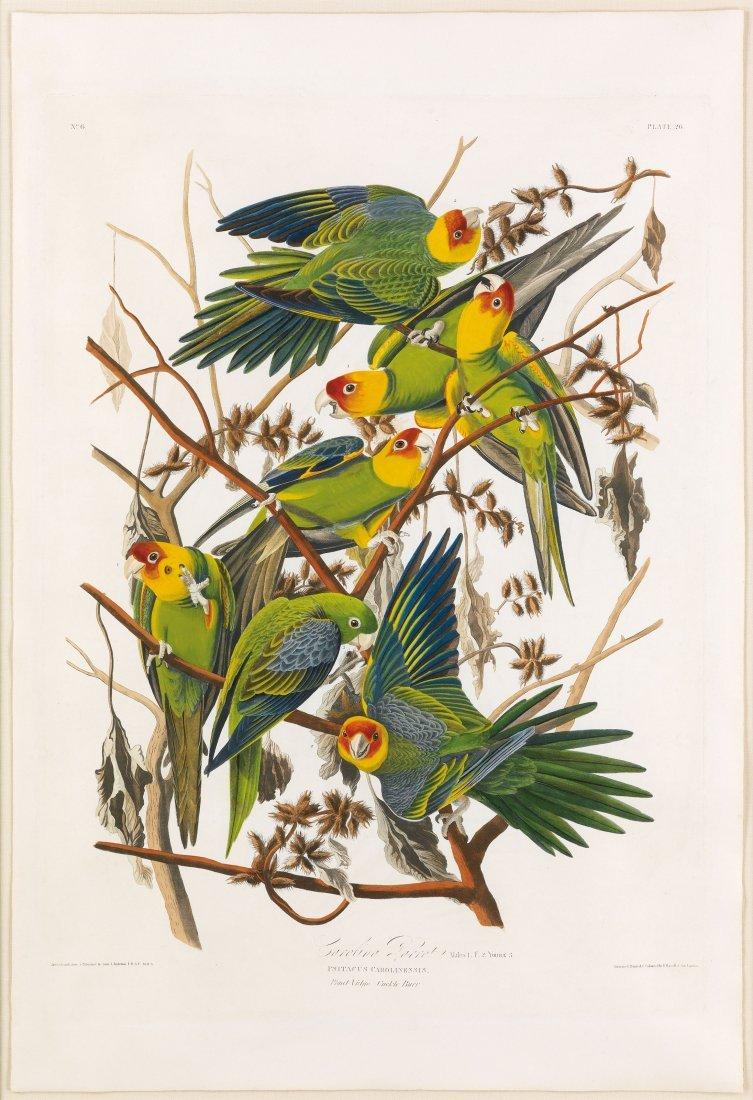 Carolina Parrot, Plate 26