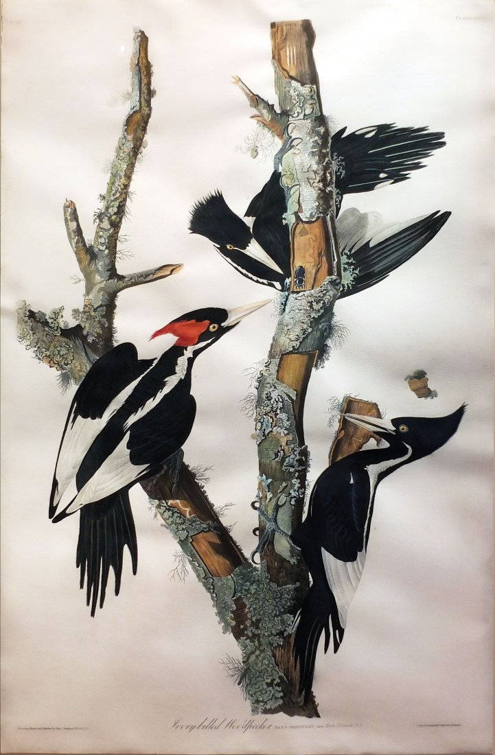 Ivory-Billed Woodpecker, Plate 66