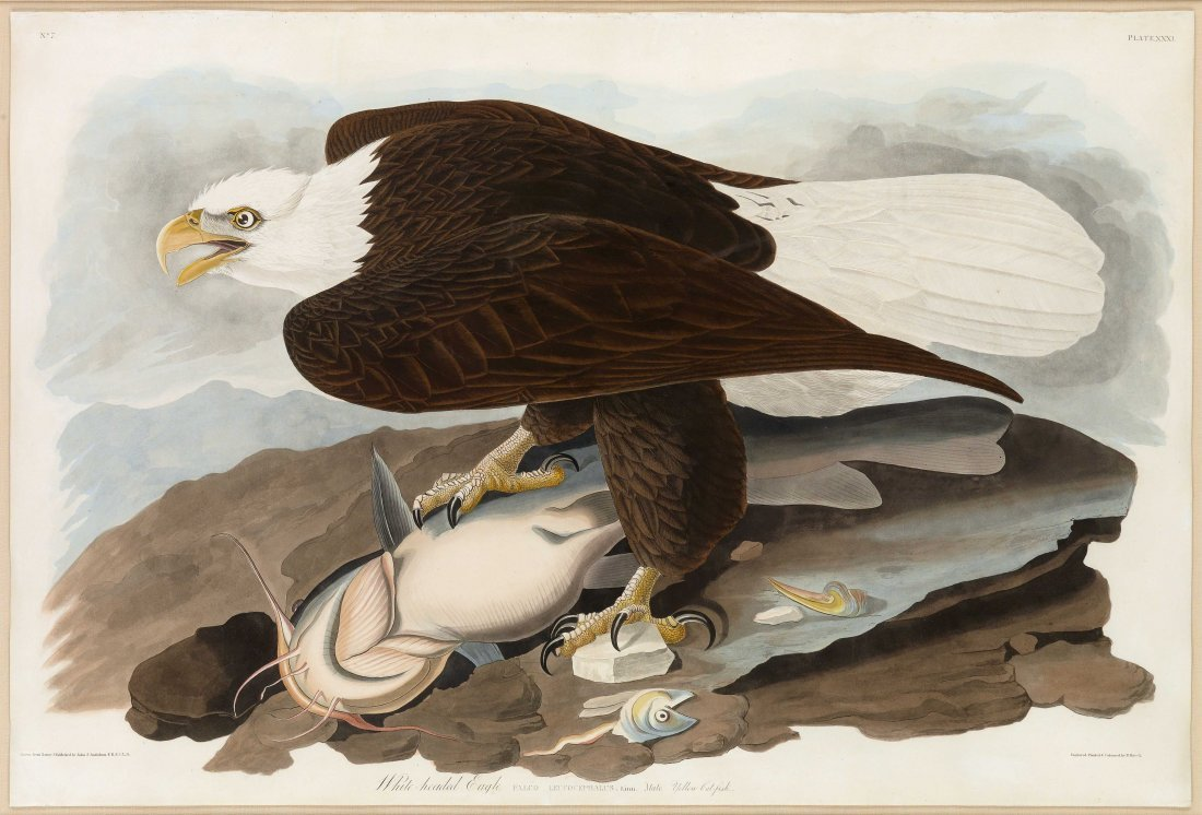 White-Headed Eagle, Plate 31