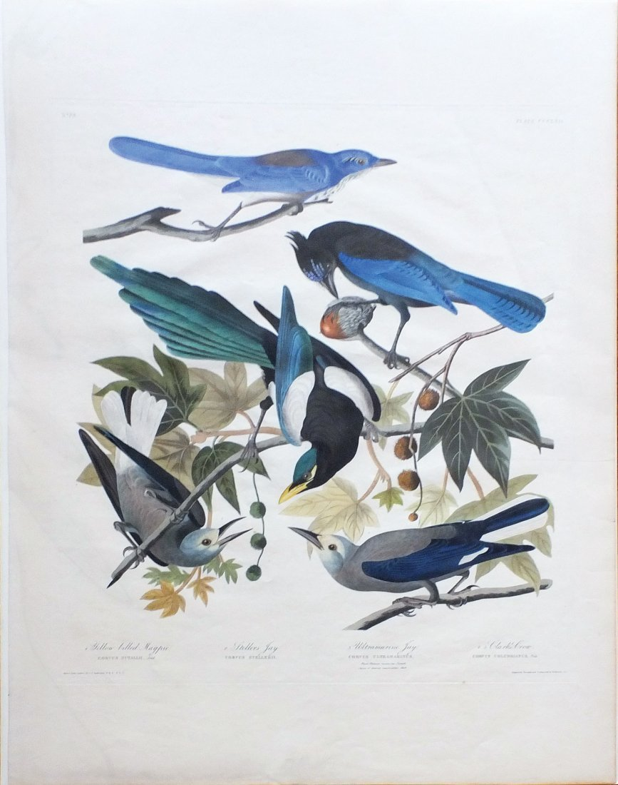 Yellow Billed Magpie, Plate 362