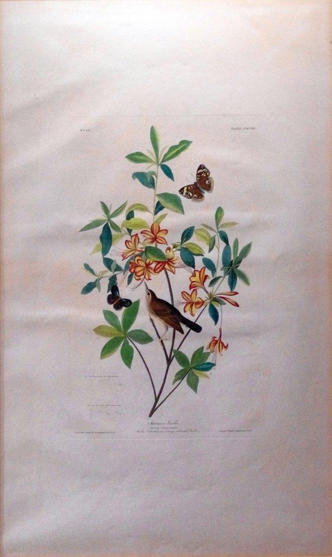 Swainson's Warbler or Brown Headed Worm Eating Wabler,